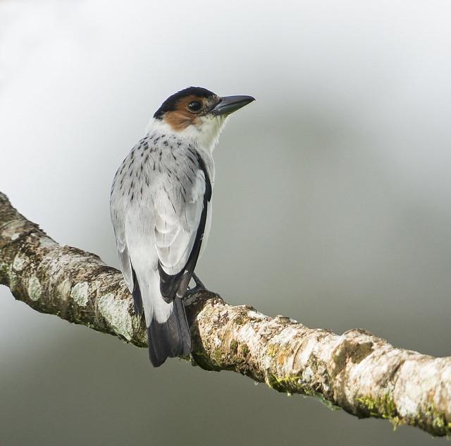 Black-crowned Tityra (female) / Tityra inquisitor / Tityra Capirotada (hembra)