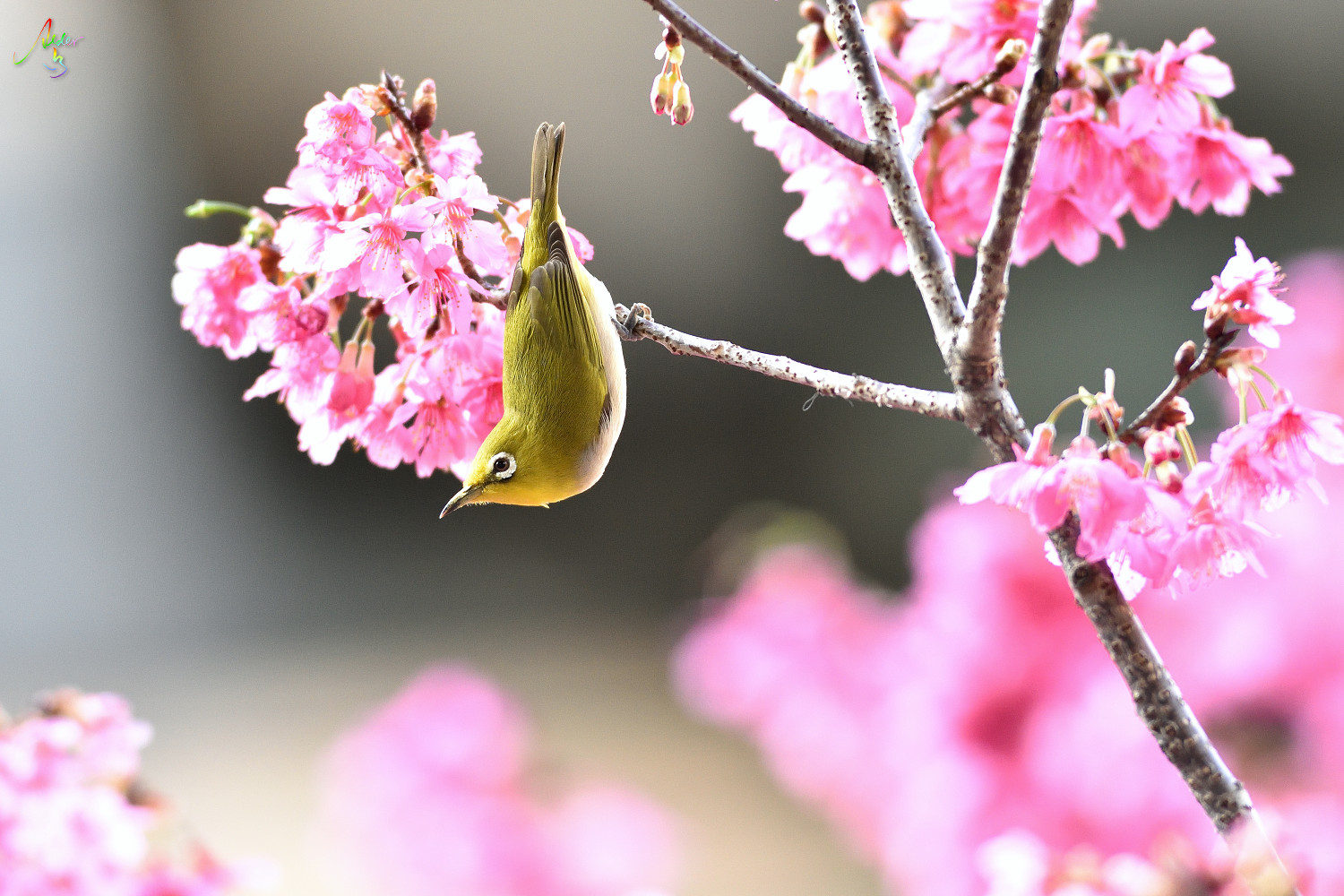 Sakura_White-eye_8173