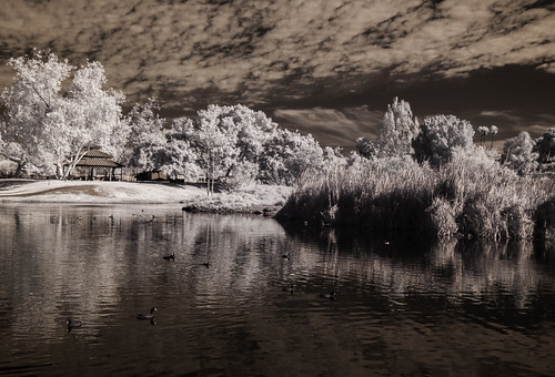 coots mudhens fulicaamericana infrared nature birds santeelakes clouds sky reflections trees ir convertedinfraredcamera