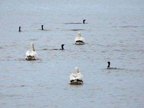 cormorant pelican water czechlandlake nebraska