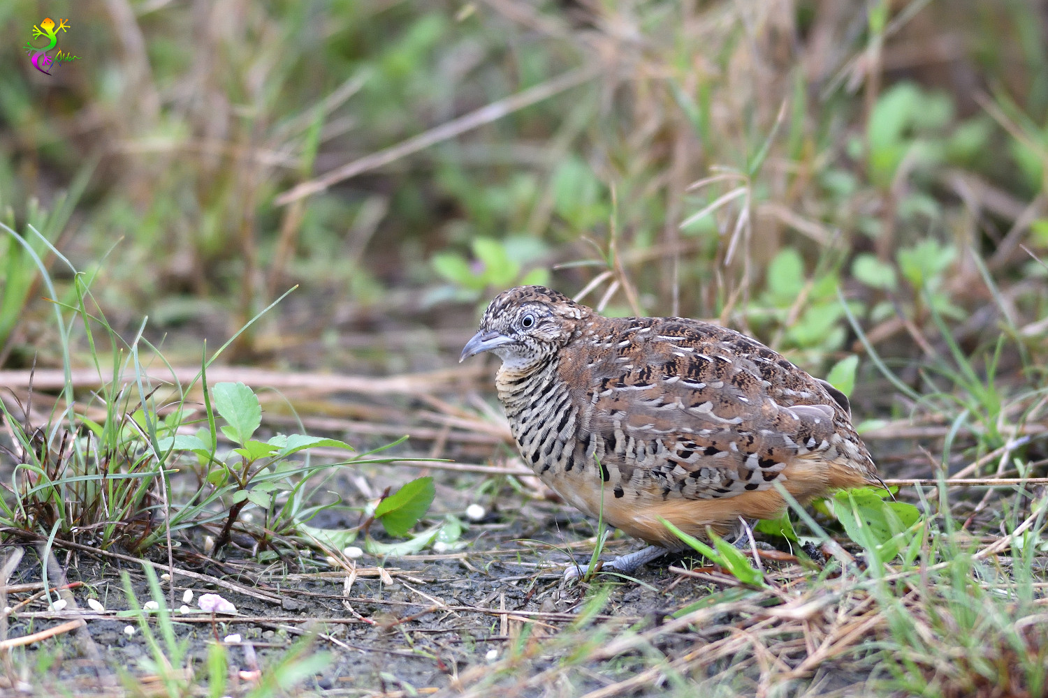 Barred_Buttonquail_9129