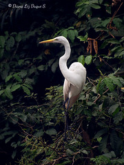 Great egret / Ardea alba