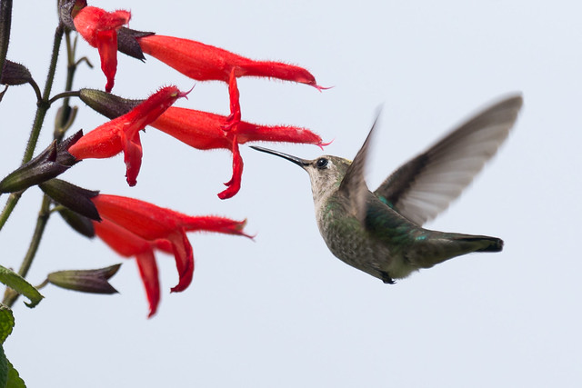 DSC_2342.jpg Anna's Hummingbird, Nikon D7200, AF-S Nikkor 300mm f/4E PF ED VR