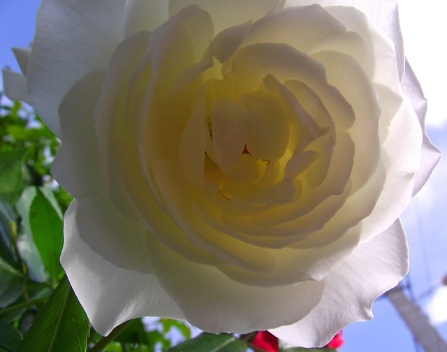 PERPIGNAN GARDEN ROSE FLOWER