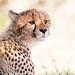 Kalahari cub by gerdavs