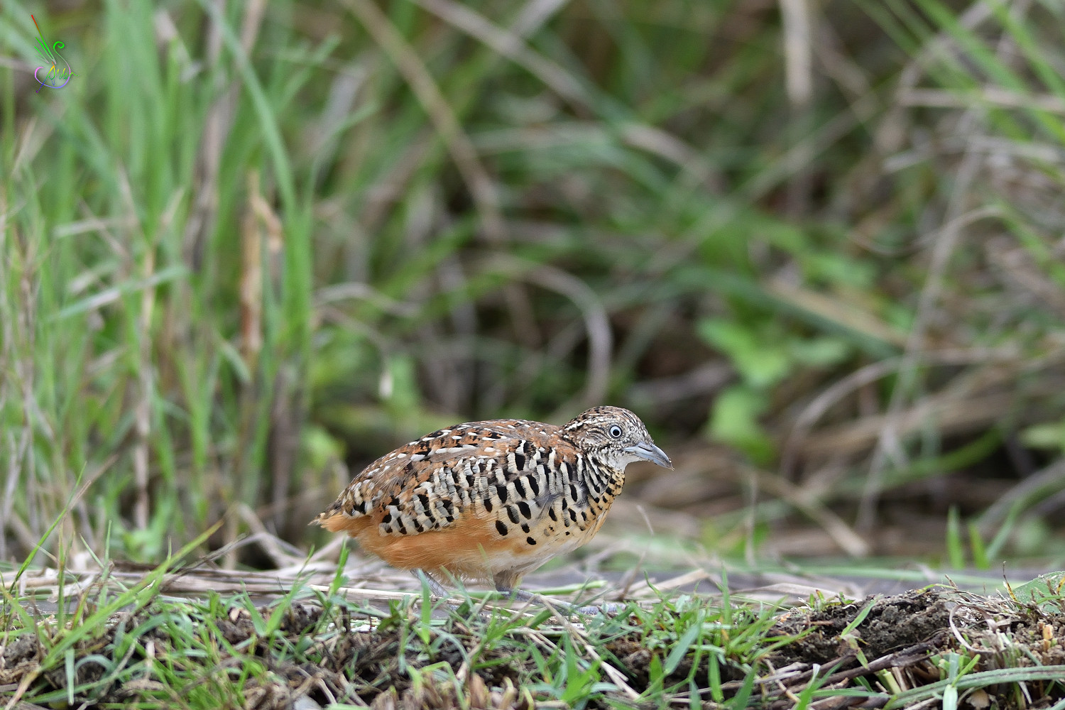 Barred_Buttonquail_2757