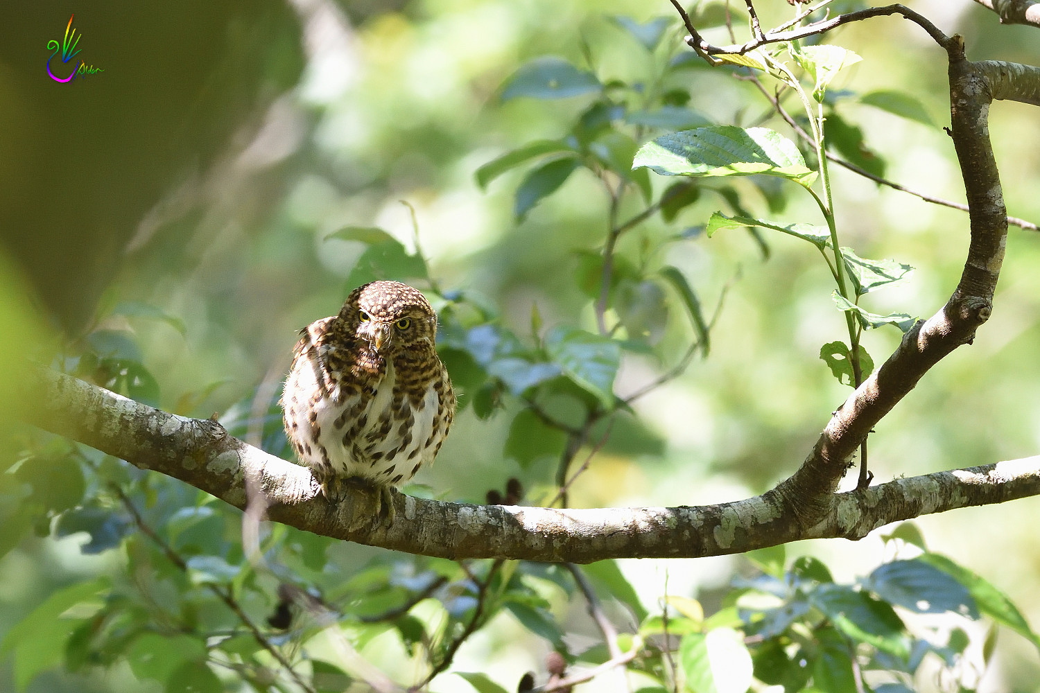 Collared_Pigmy_Owlet_3932