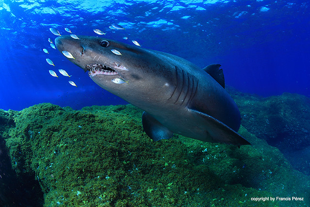 Smalltooth sand tiger shark