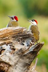 animal, fauna, woodpecker, beak, bird, wildlife,