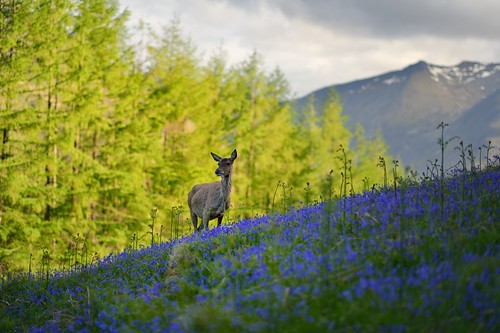 Red deer in a Blue Bells Field