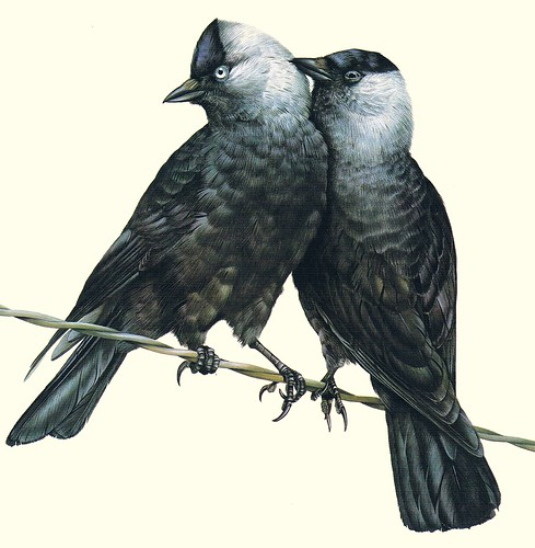 Pair of Jackdaws
