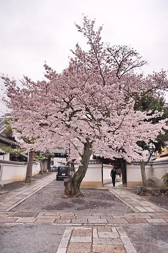 【写真】2013 桜 : 本隆寺/2020-05-19/IMGP9115