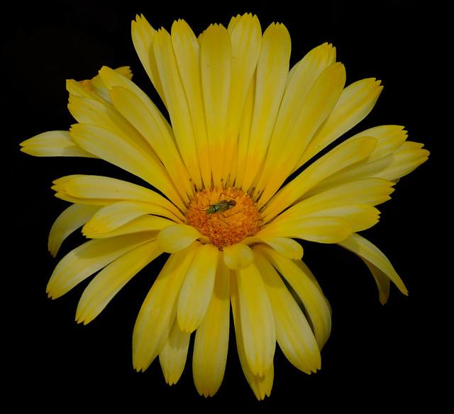 Marigold......week 30..52/13