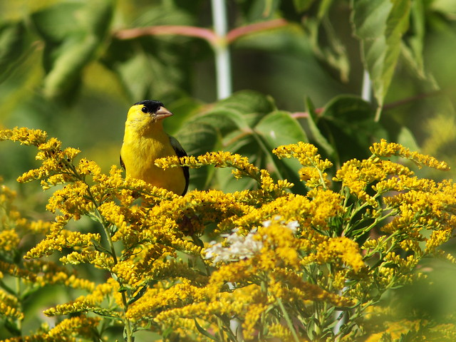 American Goldfinch 20130823