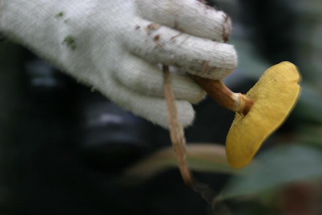ひだが黄色いハナイグチ.見分けがつきやすいキノコの一つ.