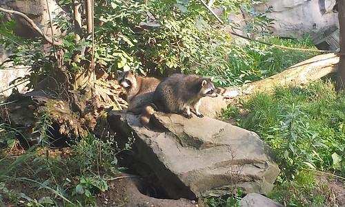 2013/10/07 - 11:19 - アライグマ ー Raccoon
