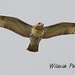 Red-Tailed Hawk at South End Park by Wildside Photography by CJM