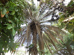 tropics(0.0), borassus flabellifer(0.0), rainforest(0.0), flower(0.0), produce(0.0), fruit(0.0), food(0.0), jungle(0.0), date palm(1.0), arecales(1.0), coconut(1.0), tree(1.0), flora(1.0),