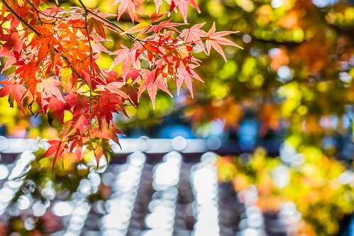 travel autumn color macro horizontal canon maple day tour farm taiwan nopeople 100mm resort taichung redmaple 台中 楓葉 梨山 福壽山農場 松廬 canoneos5dmarkiii canon5dmarkiii 和平區