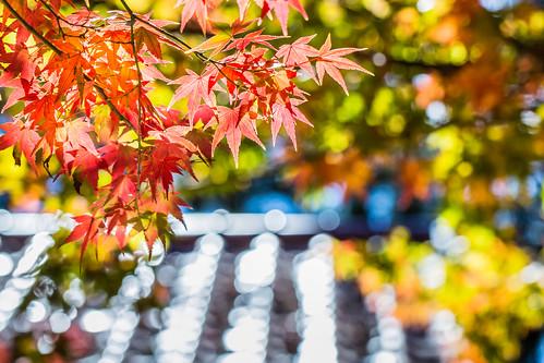 travel autumn color macro horizontal canon maple day tour farm taiwan nopeople 100mm resort taichung redmaple 台中 楓葉 梨山 福壽山農場 松廬 canoneos5dmarkiii canon5dmarkiii 和平區