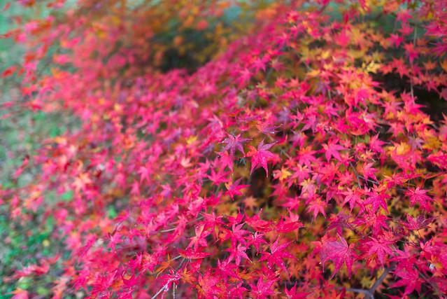 京都御苑 凝華洞跡 紅葉