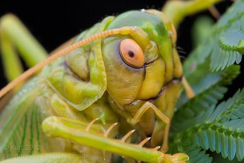 Leaf Rolling Cricket IMG_0141 copy