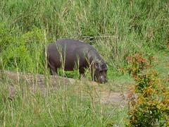 Young Hippo (Hippopotamus amphibius)
