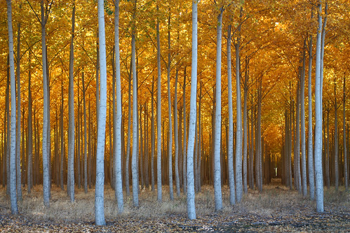 autumn trees usa tree oregon forest unitedstates farm patterns symmetry boardman hermiston