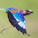 Lilac-breasted Roller by Willievs