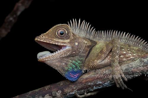 Bell's Anglehead Lizard IMG_6085 copy