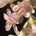 Flickr photo 'Ribes sanguineum var. glutinosum' by: Elaine with Grey Cats.