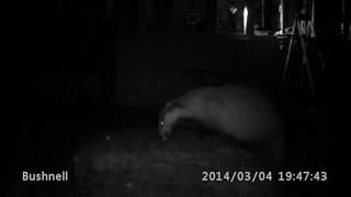 Badger and Pine Marten together