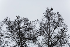 A Murder of Northwestern Crows in Seattle