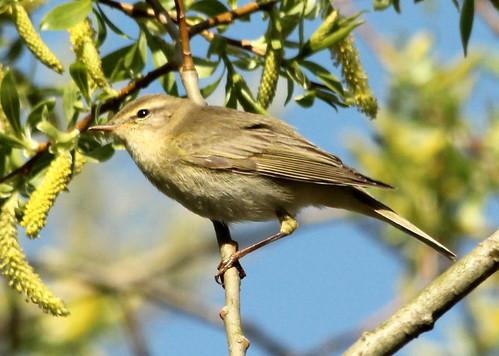 Willow Warbler 26937