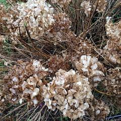 #hydrangea #seasons #winter #driedflowers #spring #newbuds #springhassprung #mybeigelife
