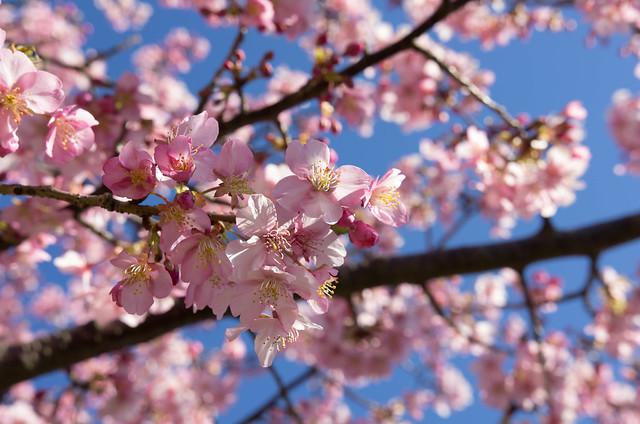 Photo:河津桜