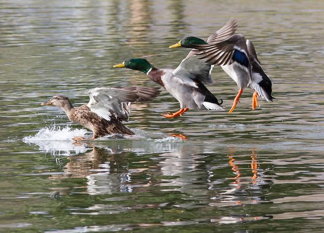 mallard trio landing