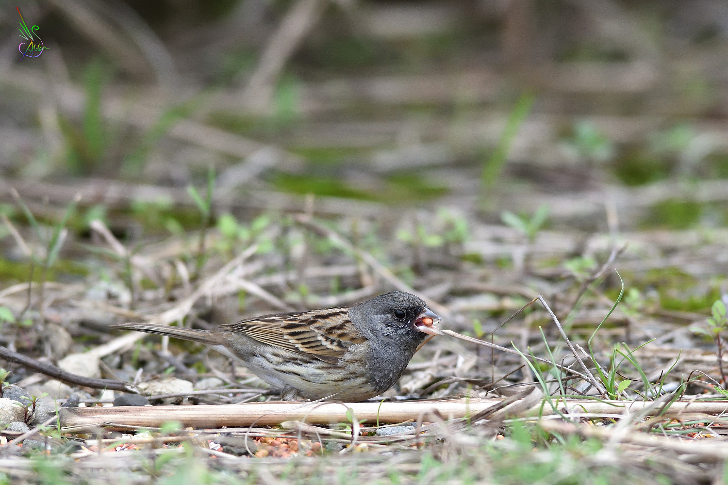 Black-faced_Bunting_8666