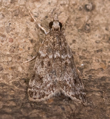 Many-spotted Scoparia Moth