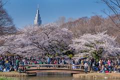 Cherry blossom time in Yoyogi Park - Tokyo