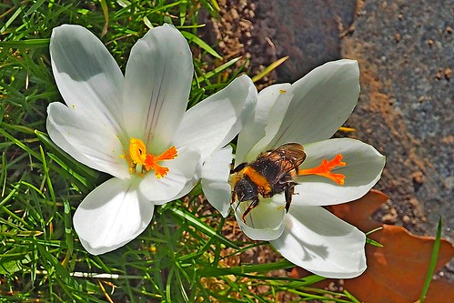A bumble bee working on a Crocus flower.