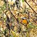 Daurian Redstart (Dani Free)