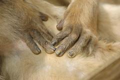 Mains du macaque