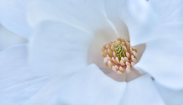magnolia  (Explore 25.04.2017.)