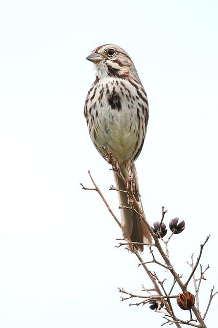 Song Sparrow....6O3A8255A