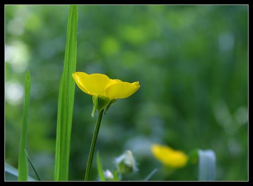 Ranunculus bulbosus - renoncule bulbeuse 34147576412_d784526787