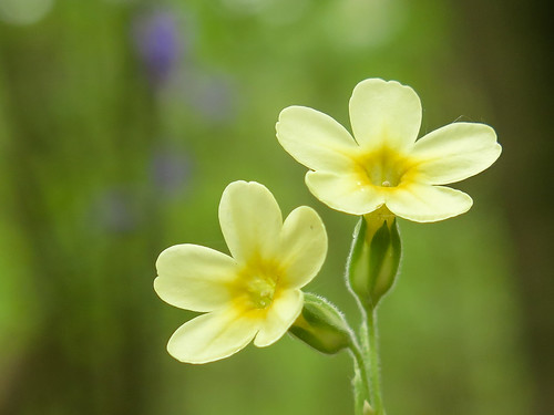 Oxlip (Primula elatior) in Hayley Wood, Cambridgeshire