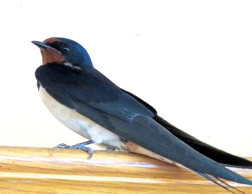 Housebound swallow