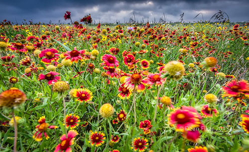 red sky orange plant motion flower green nature floral beautiful field yellow closeup rural landscape colorful texas unitedstates wind cloudy blossom indian country blurred nobody sunflower grasses benbrook indianblankets