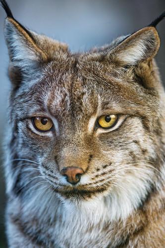 What a pretty lynx! by Tambako the Jaguar